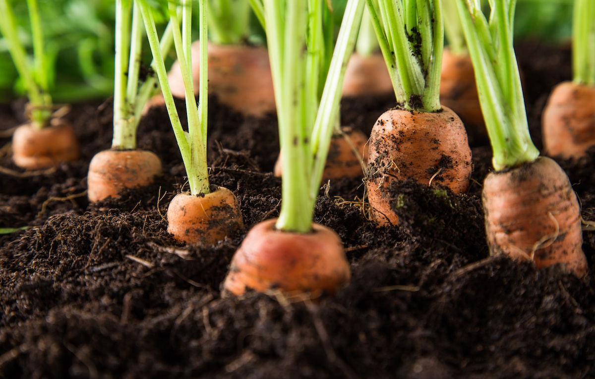 Learn What The Top 5 Easiest Vegetables To Grow Are.