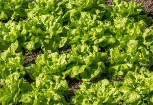 Top Vegetables That Are Easy To  Grow